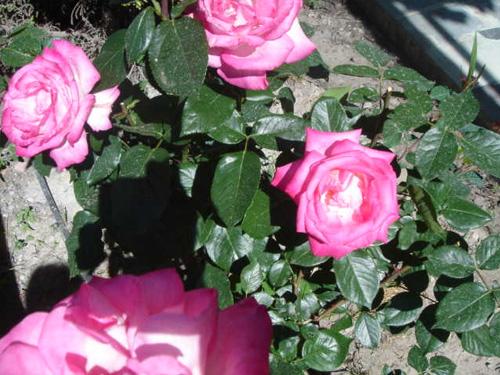 Rosas en el jardín exterior